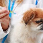 【獣医師監修】犬の糖尿病の治療法とは?原因や症状、食事の知識