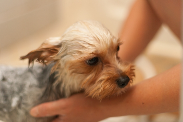 犬の膿皮症