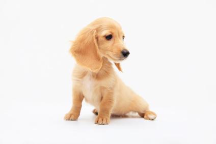 犬の慢性腎炎になったら?症状と余命、食事、原因と治療法