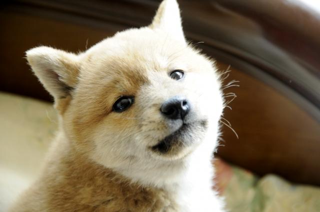 犬の慢性膵炎