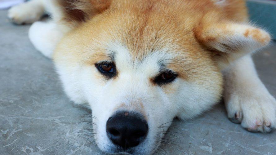 犬のクレアチン