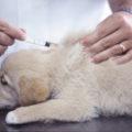 犬のマラセチア
