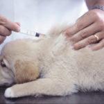 犬のマラセチア皮膚炎の治療法は?原因と症状、食事について