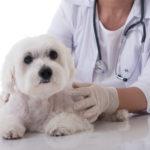 犬の癌(ガン)の1つ「リンパ腫」になる原因とは?治療法と予防の知識