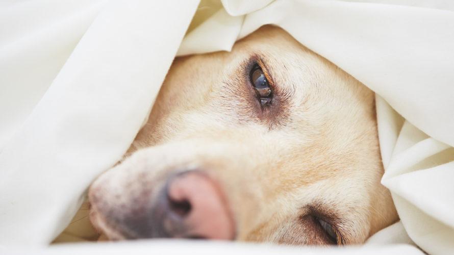 犬の骨肉腫は肺転移させない事が重要!症状と余命、治療法