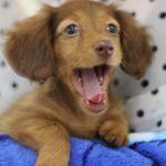 子犬の甘噛みの意味を知り、叱ることなく痛い癖を治す対処法