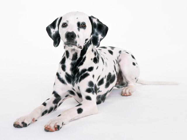 犬の心筋症