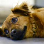 犬の肝炎の原因と症状、余命、食事、治療法の知識