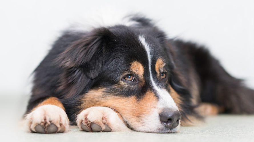 犬の血液検査AST