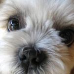 犬の涙やけ・目ヤニの原因とは?改善するためのフードの選び方