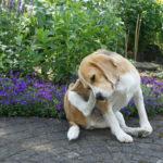 犬のダニが原因の病気とは?種類別の治療と予防法まとめ