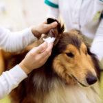 犬の耳血腫の治療法とは?症状・原因と注意点