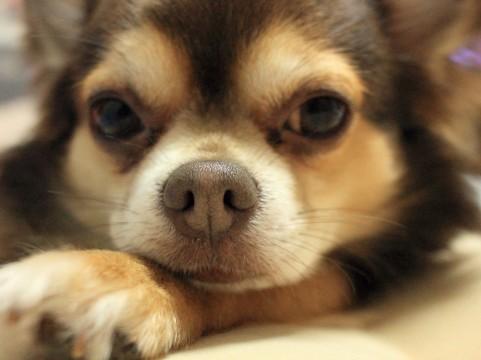 犬の緑内障の症状とは?治療や手術費用、なりやすい犬種