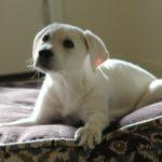犬の白内障の原因と症状とは?治療法や手術費用、予防の知識