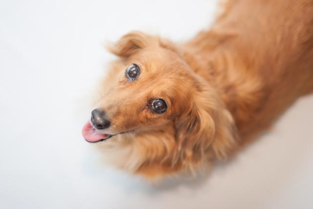 犬の椎間板ヘルニアの原因と症状とは?治療と手術、予防の知識