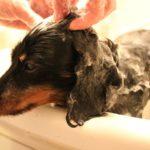 犬の疥癬とは?原因と症状、薬と治療法、予防の知識