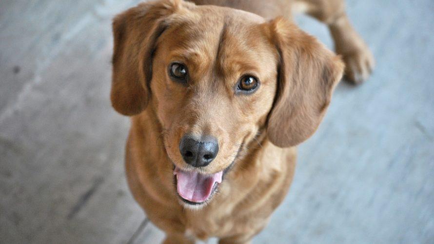 犬のアカラス