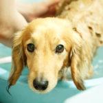犬のフケって何が原因なの?正しいシャンプーと治療、フードの知識