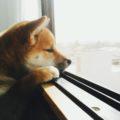 犬 アルブミン