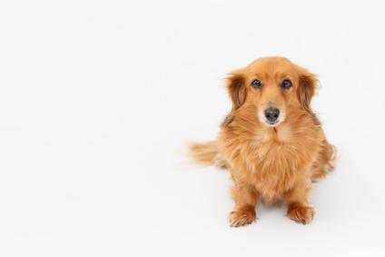 犬のアジソン病