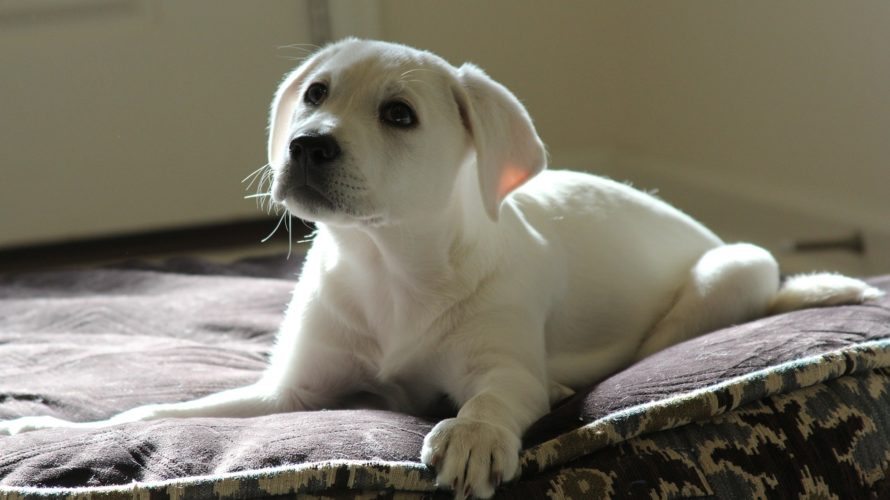 犬の白血病