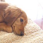 犬がメラノーマ(悪性黒色腫)になったら?原因と症状、治療法