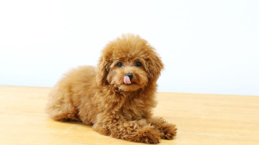 犬の血尿は病院に行くべき?原因と注意すべき病気とは?