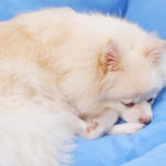犬の白血球数(WBC)
