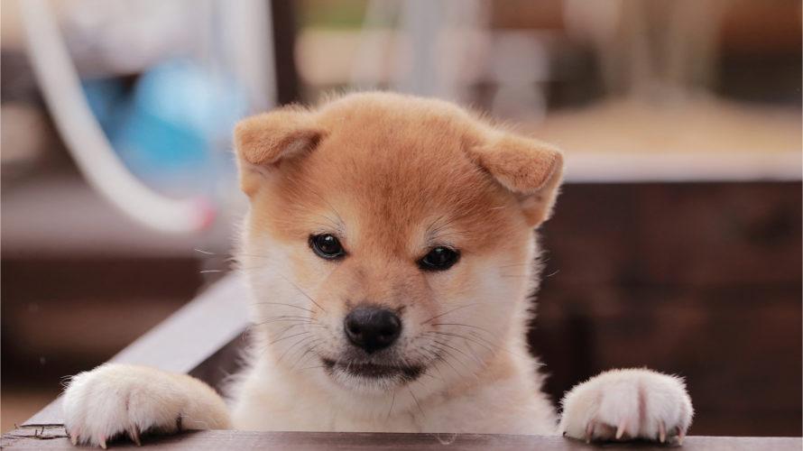 子犬のしつけ|食事・無駄吠え・散歩・噛む・トイレ別5つのポイント