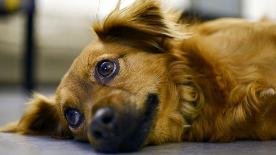 犬の皮膚糸状菌症