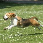 犬のダイエット運動