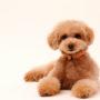犬の僧帽弁閉鎖不全症って?原因と症状、治療法や食事、寿命について