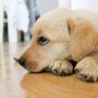 【獣医師監修】犬が腎不全になったら?症状と余命、食事、治療法