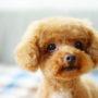 犬の結膜炎は目薬で治る?原因と症状、治療費と注意点