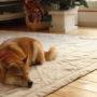 犬の貧血の原因と症状とは?予防の食べ物を解説